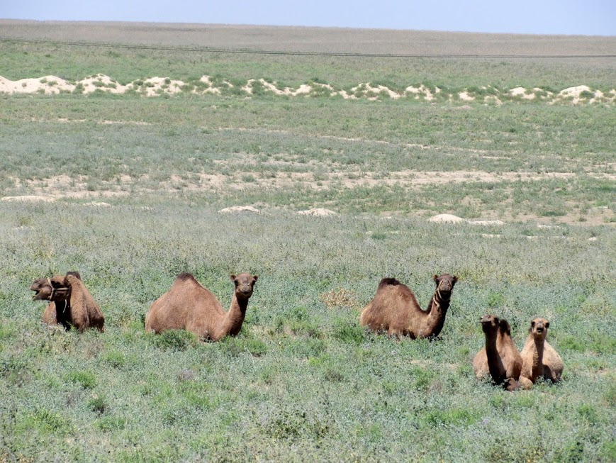 turkistan-soliti-cuoriosi-cammelli